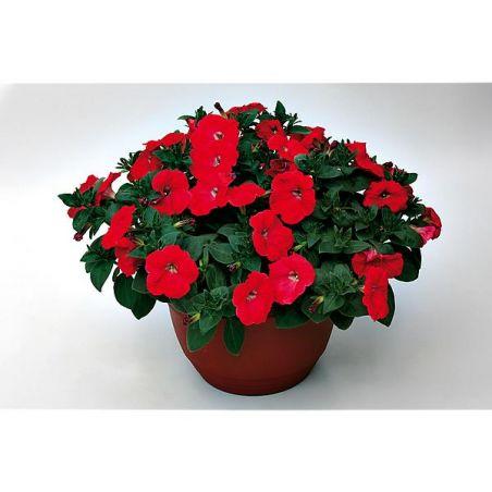 PÉTUNIA multiflora cascade F1 RAPIDE® F1 RED