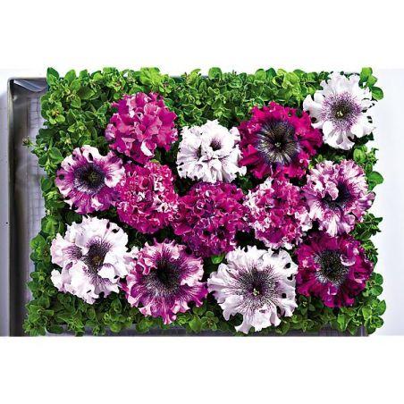 PÉTUNIA grandiflora superbissima CERNYS TRIUMPH
