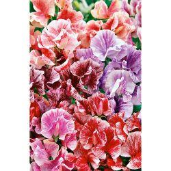 Chou-Fleur f1 Claforsa