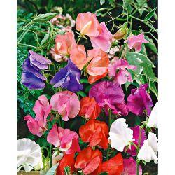 Chou-Fleur f1 Jaffa