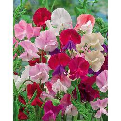 Chou-Fleur Romanesco Natalino