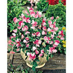 Chou-Fleur Merveille De Toutes Saisons