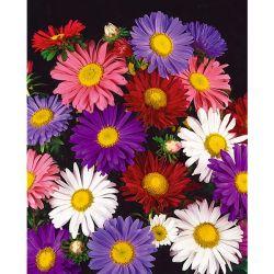 Chou-Fleur f1 Clapton