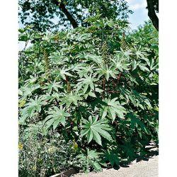CHOU BROCOLI VERT CALABRAIS (ramoso calabrese) Bio