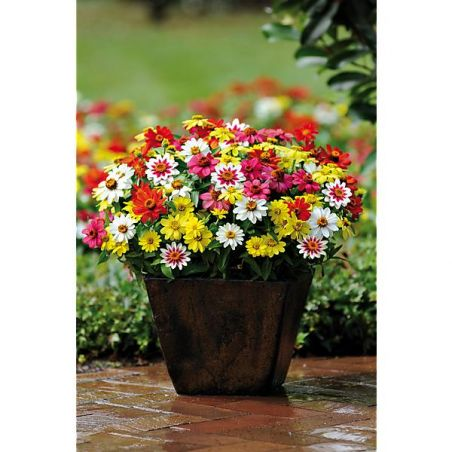 ZINNIA marylandica ZAHARA® RASPBERRY LEMONADE MIX