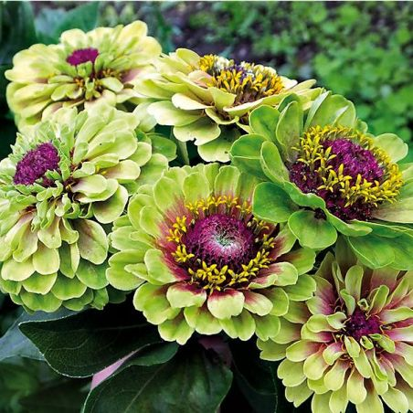 ZINNIA LIME with BLOTCH