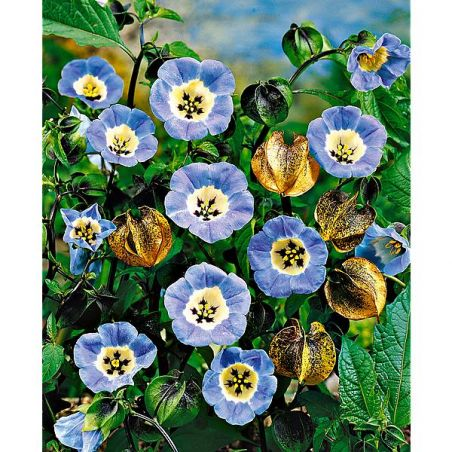 NICANDRA physalodes LILAC BLUE ou pomme du Pérou