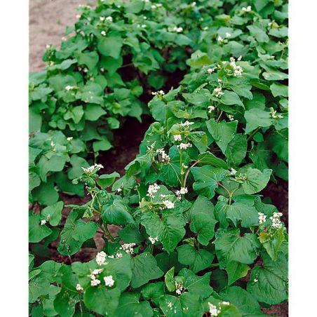 SARRASIN HAJNALKA (fagopyrum esculentum)