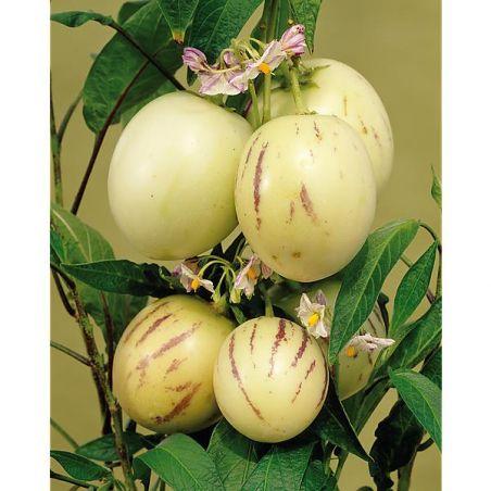 POIRE-MELON ou PÉPINO (solanum maricatum)