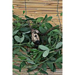 Piment Végétarien (C. Chinense)