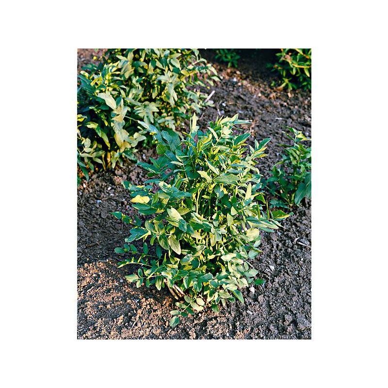 PIMENT TRINIDAD SCORPION (c. chinense)