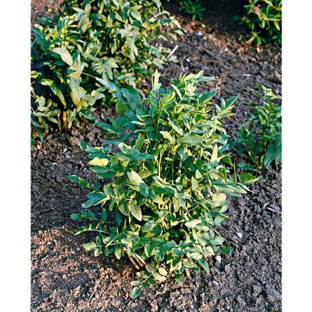 CHERVIS (sium sisarum)