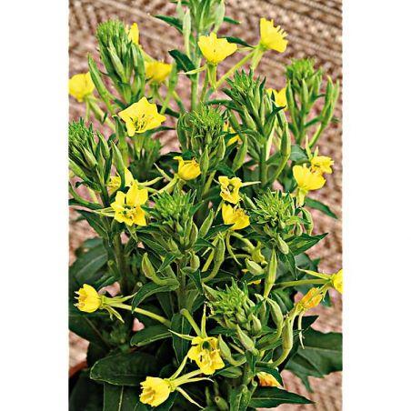 JAMBON du JARDINIER ou ONAGRE (oenothera biennis)