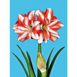Tulipe Darwin Dreamship