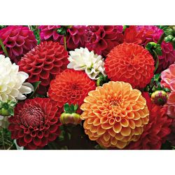 Dahlia Striped Emory Paul