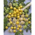 TOMATE F1 TOMBERRY® YELLOW