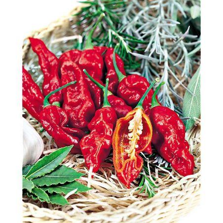 PIMENT BHUT JOLOKIA RED (c. frutescens)