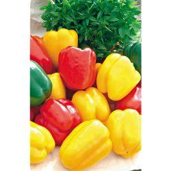 Tomate Rosella Purpre
