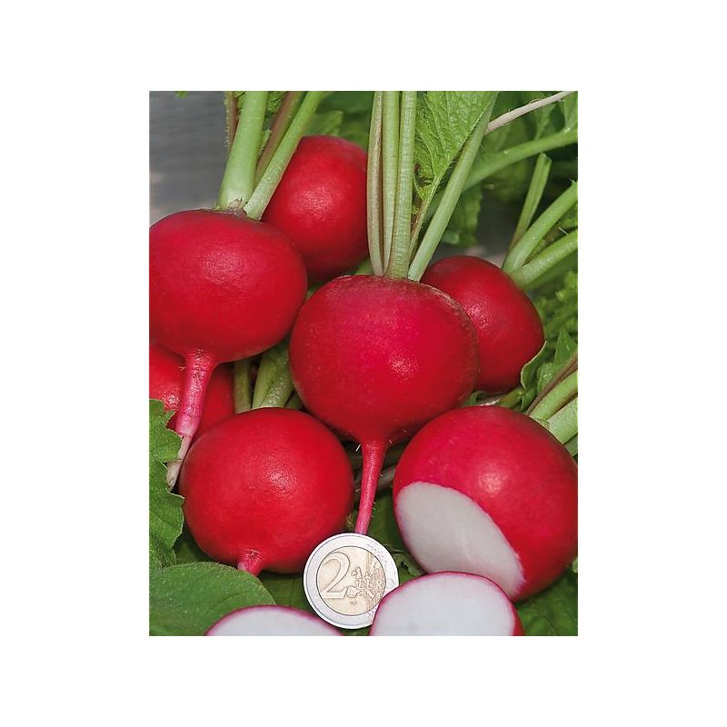 COURGE F1 PLUTO