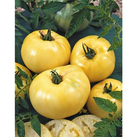 TOMATE GREAT WHITE BEEFSTEAK
