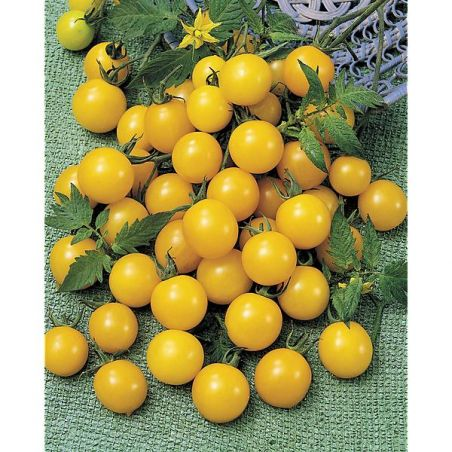 TOMATE MIRABELL