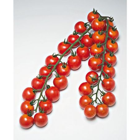 TOMATE F1 GOLOTYNA