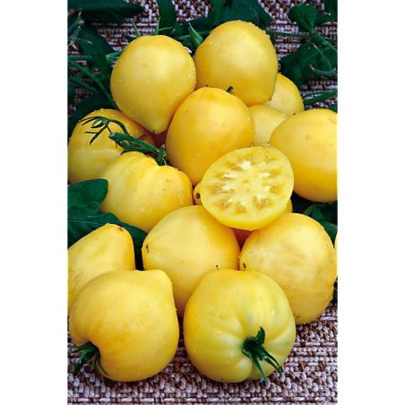 TOMATE DWARF LEMON ICE