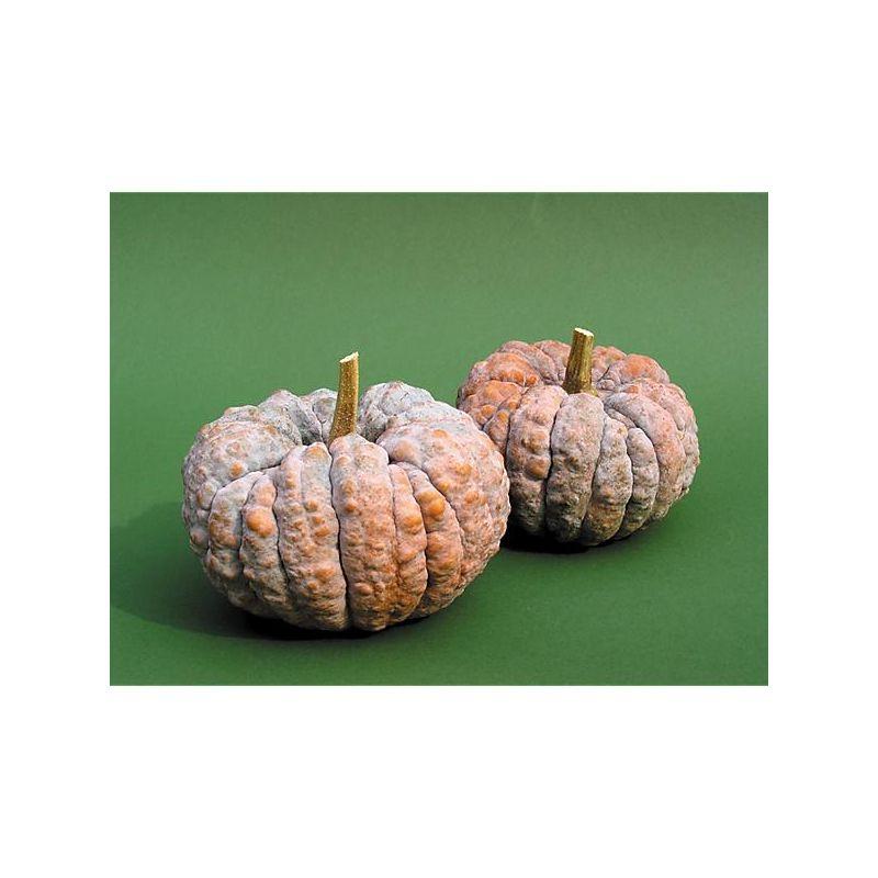 Pomme de terre agria bio graines baumaux - Arrosage pomme de terre ...