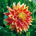 CROCUS chrysanthus HERALD