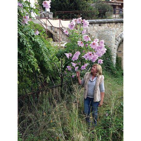 DAHLIA IMPERIALIS BLANC ROSÉ teinté de lilas