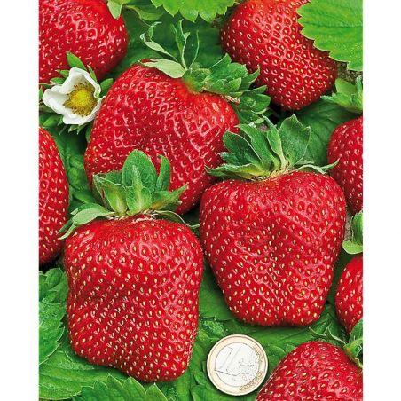 FRAISIER Madame MOUTOT ou fraise tomate