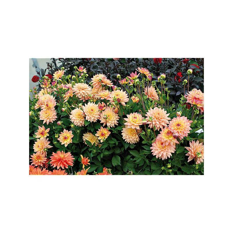 COREOPSIS grandiflora SUNFIRE