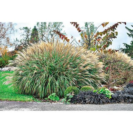 MISCANTHUS sinensis EARLY HYBRID