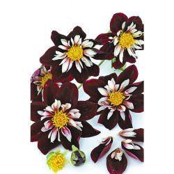 Delphinium Pacific Astolat