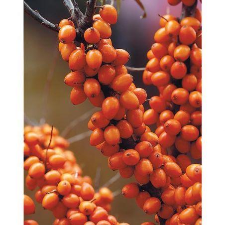 ARGOUSIER FRIESDORFER ORANGE (hippophae rhamnoides)