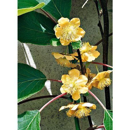 KIWI SOLISSIMO (actinidia deliciosa)