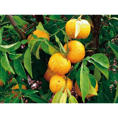 YUZU citron du Japon (citrus x junos)