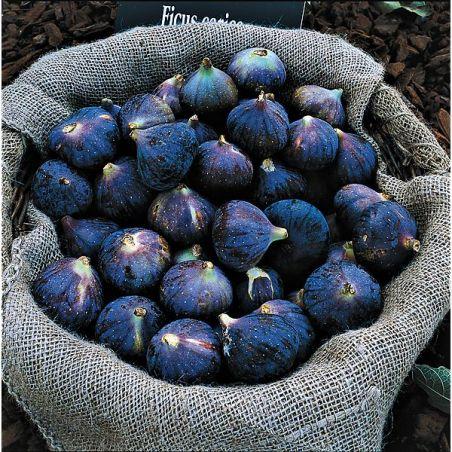 FIGUIER NÉGRONNE (violette de Bordeaux)