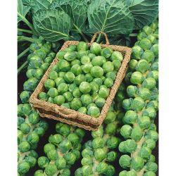 VEREDELUNGSUNTERLAGEN für Gemüsesorten F1 MAXIFORT