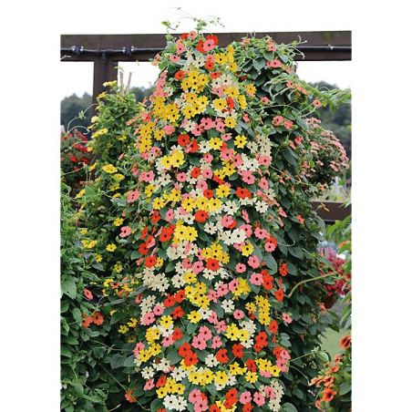 THUNBERGIA SUNNY SUSY® MIX