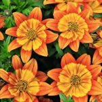 BIDENS HAWAIIAN FLARE ORANGE YELLOW CENTRE