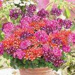 SUPER GERANIUMS LIERRE PAC® MEXICANA® COLLECTION MEXICANA® MIX